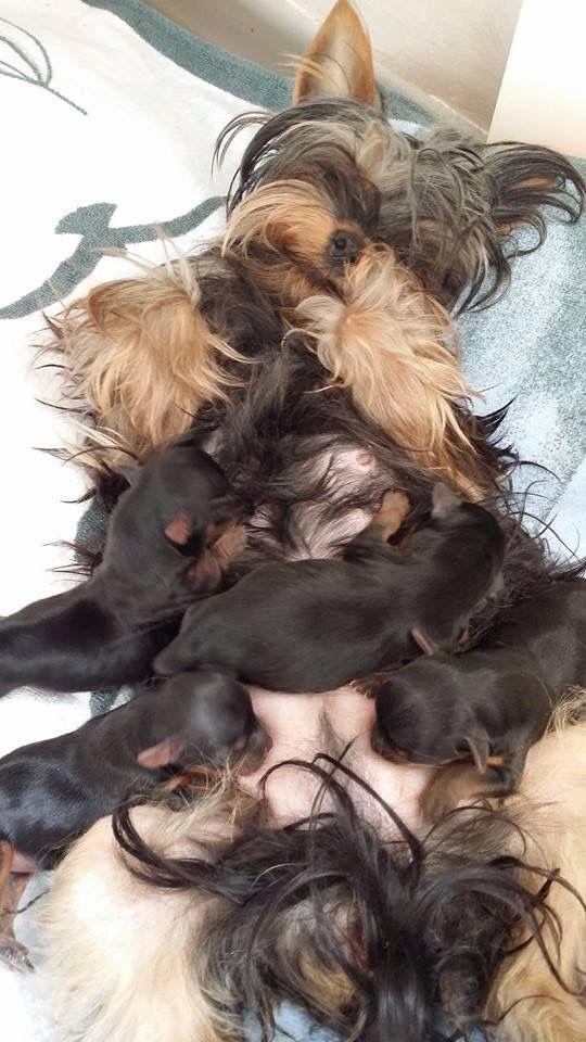 Pin By Pamela Elliott On Animais Yorkshire Terrier Baby Yorkie Yorkie Dogs