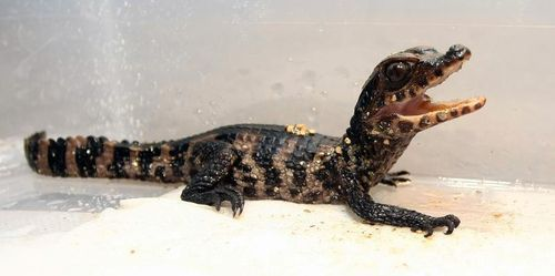 6a010535647bf3970b017ee7173367970d 500wi 500 249 Zooborns Cute Animals Caiman