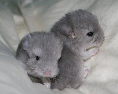 Cute Animals Baby Chinchillas Cute animals, Cute baby