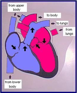 Circulatory System | Circulatory system, Human body ...