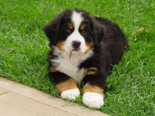 Quincy Bernese Mountain Dog Bernese Mountain Dog Puppy Bernese Mountain Dog Mountain Dogs