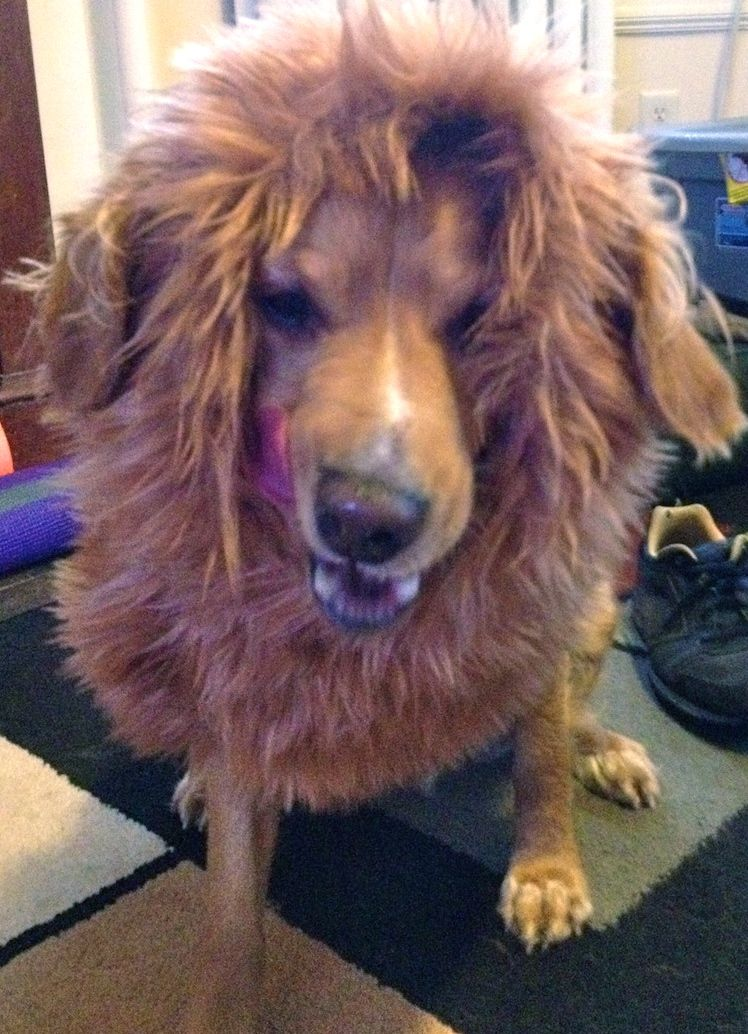 f24ddbc02f How to Make a Lion s Mane Dog Costume sounds easier than others ...