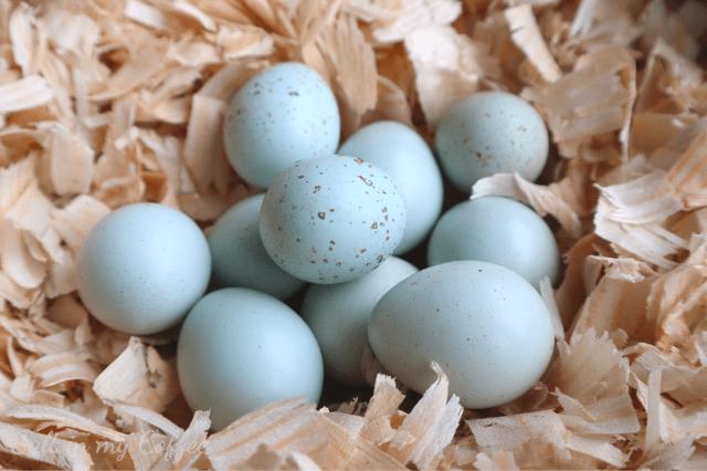 15 Celadon Blue Coturnix Quail Eggs **FREE SHIPPING**