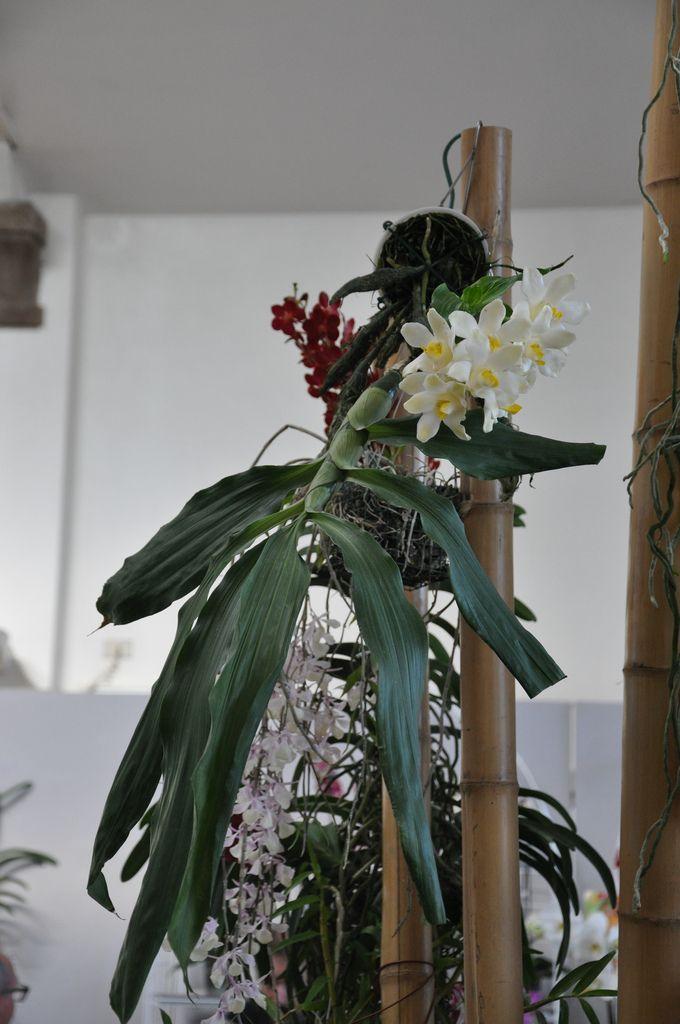 Orchideen Kopf chysis bractescens