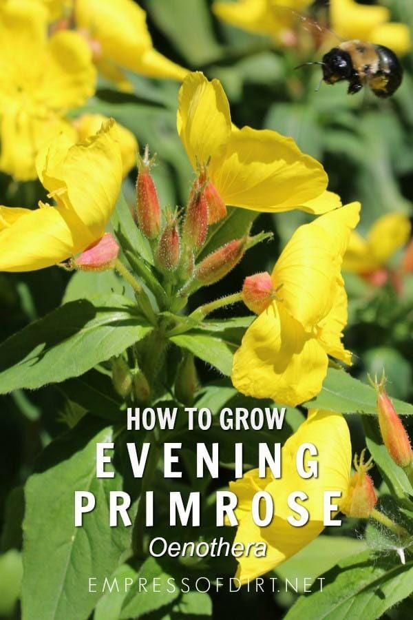 How to grow evening primrose (Oenothera) in your home garden. #growingtips #flowergarden #empressofdirt