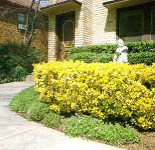 Golden Euonymus House Landscape Shrubs Front Flower Beds