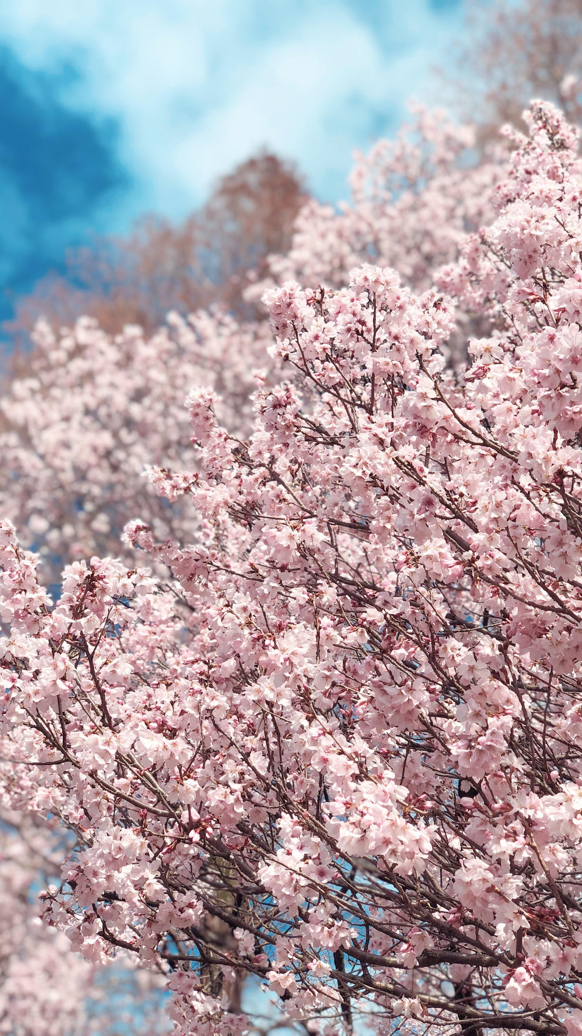 Cherry Blossom In Full Bloom Cherry Blooms Cherry Blossom Blossom