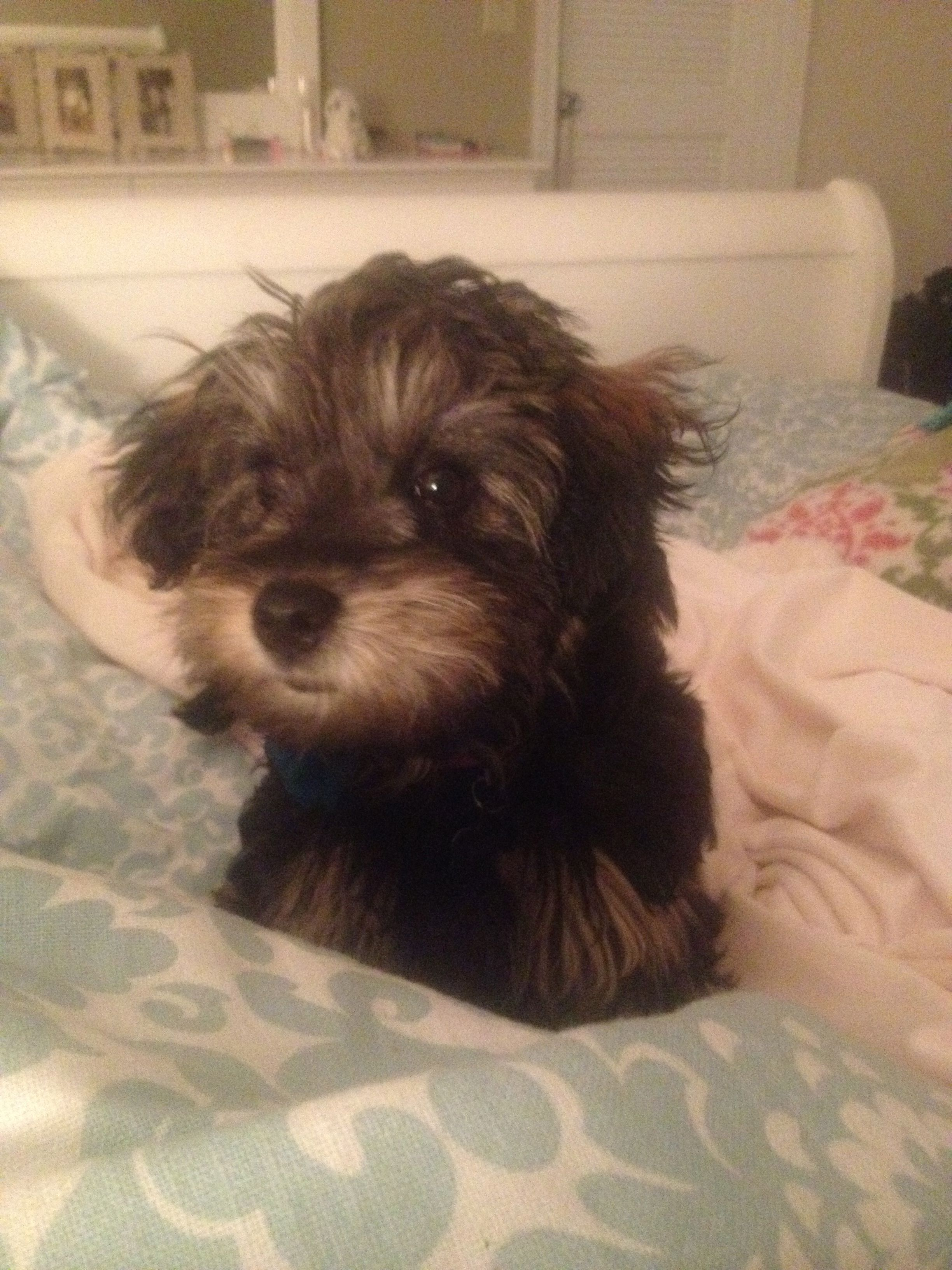 Yorkie Poo Puppy Yorkie Poo Yorkie Poo Puppies Cat Drooling