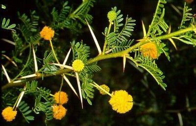 Acacia Karroo Family Fabaceae Plant Identification Plants Flower Remedy