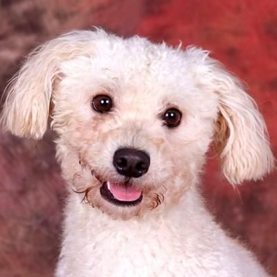 Meet Chip Douglas, a Petfinder adoptable Bichon Frise Dog   Chester Springs, PA   If you are interested in meeting any of our adoptable dogs, please fill out an application.E-mails...