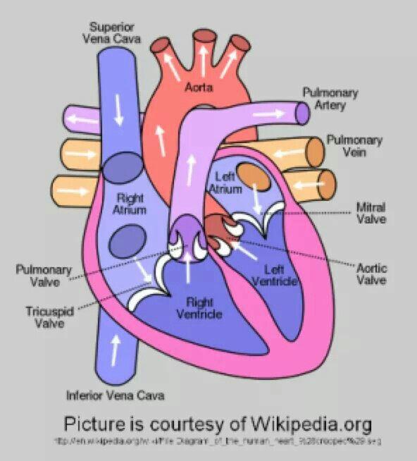 The heart   Human anatomy and physiology, Human heart ...