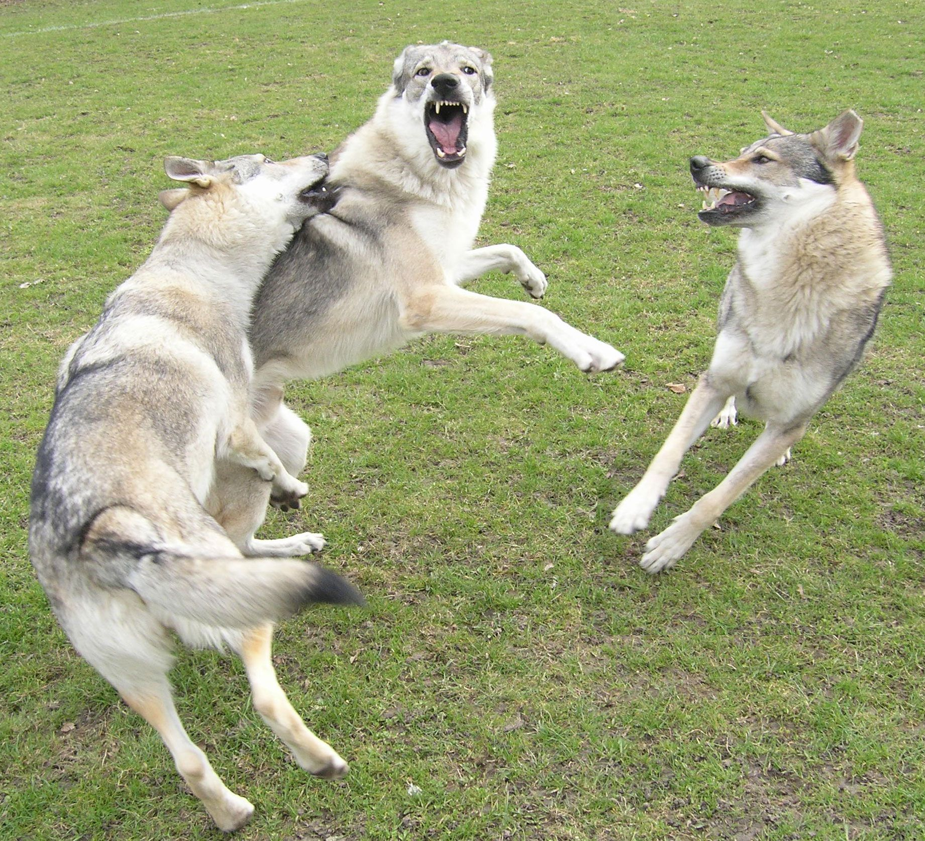 Wolf hybrid puppies for sale in ohio - Wolf Hybrid Puppies For Sale In Ohio 22