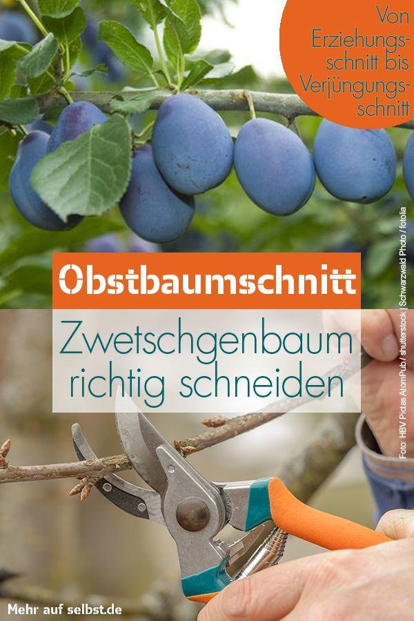Zwetschgenbaum schneiden | selbst.de
