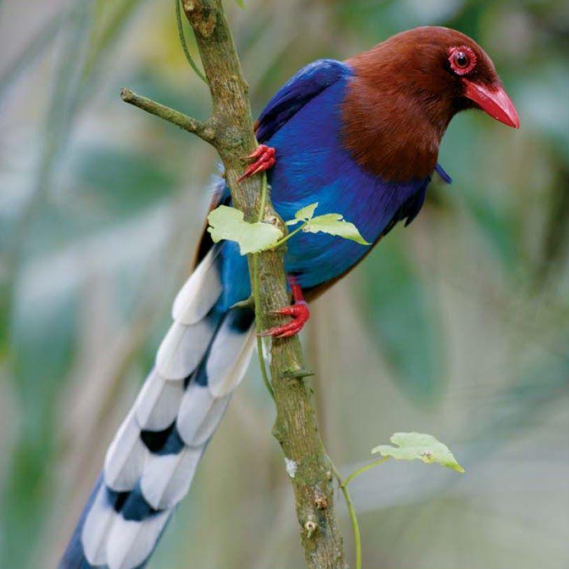 Sri Lanka Blue Magpie Urocissa ornata   Adventure Birding