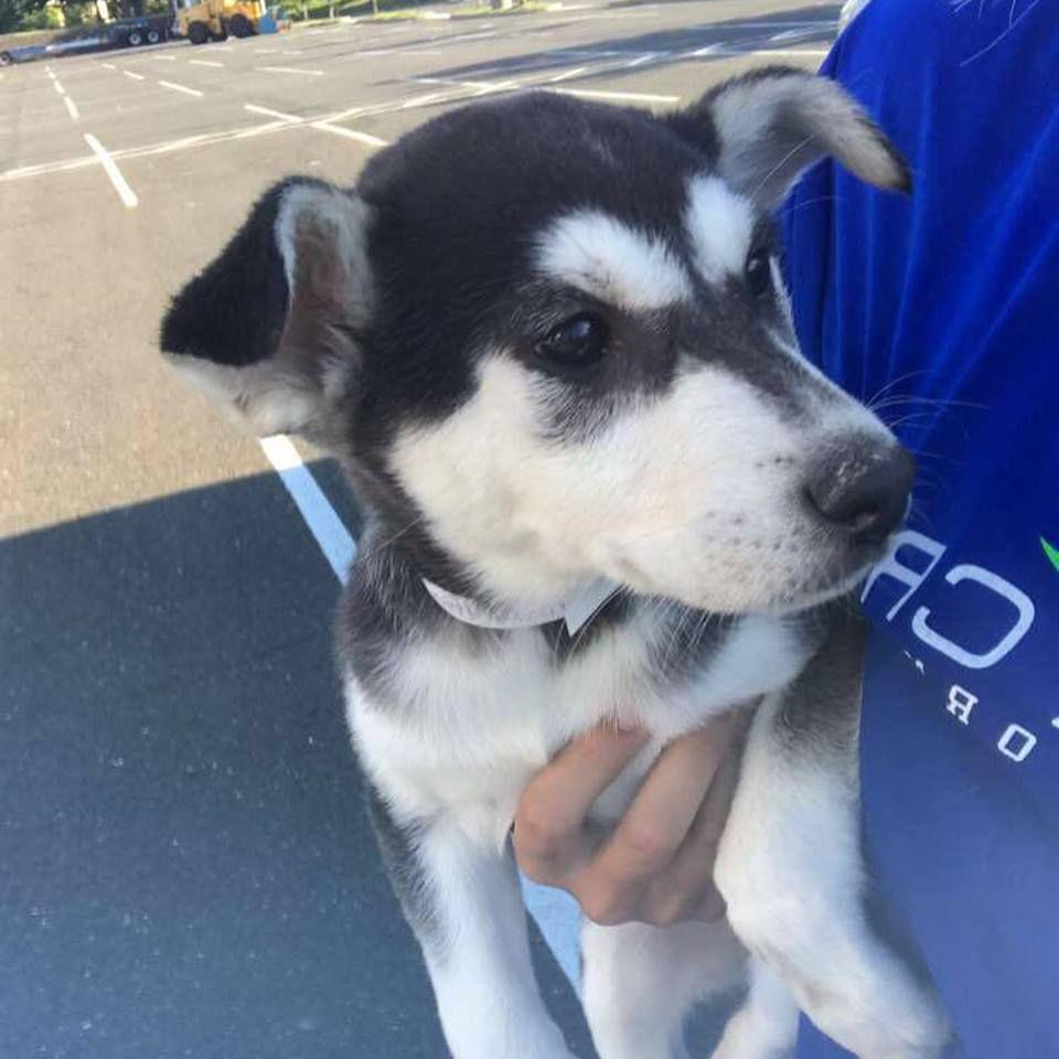 Siberian Husky Dog For Adoption In Matawan Nj Adn 617833 On