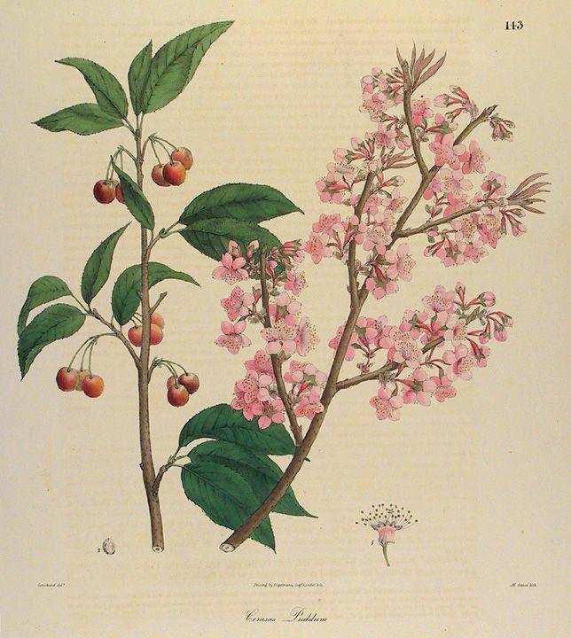 Past Present Cherry Blossoms Botanical Illustration Vintage Tree Illustration Flower Illustration