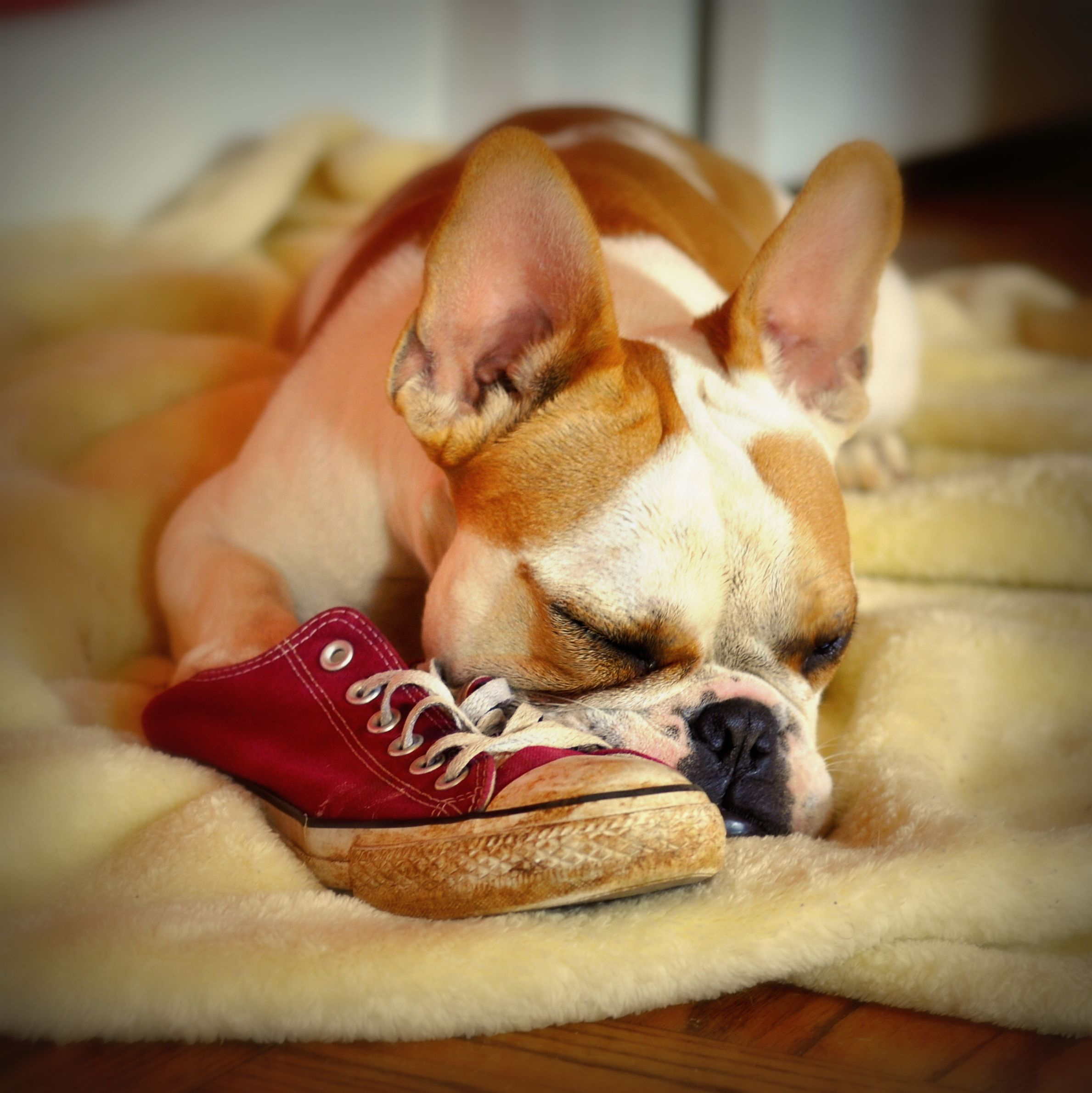 The Napping Enthusiast tries a shoe for a pillow.