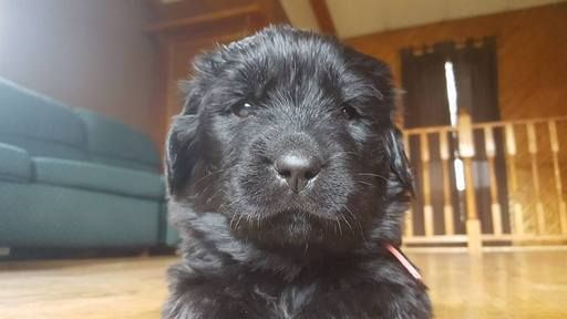 Litter Of 9 Newfoundland Puppies For Sale In Moose Lake Mn Adn 19948 On Puppyfinder Com Gender Female Age 10 Puppies For Sale Newfoundland Puppies Puppies