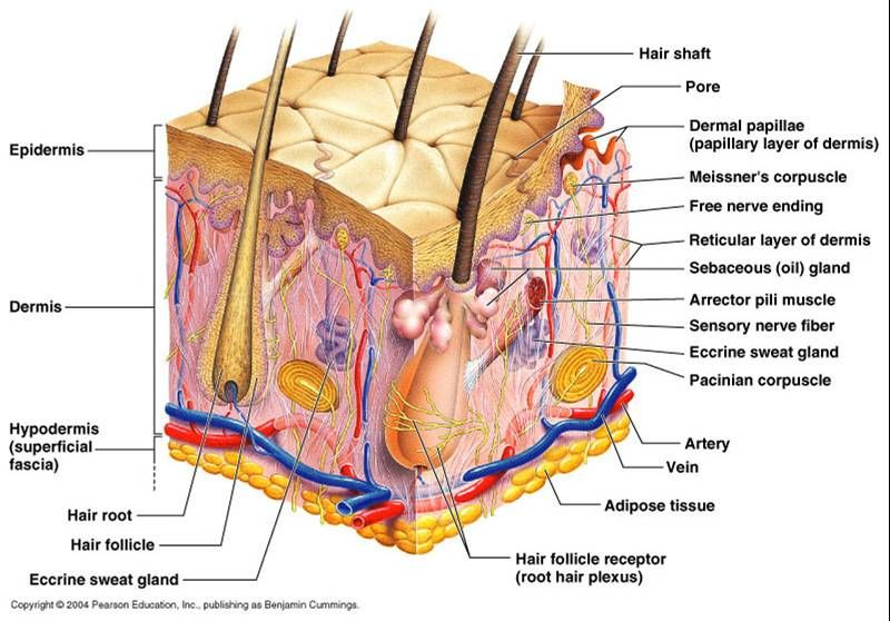 Skin Is The Largest Organ In Your Body Covering About 20 Sq Ft In