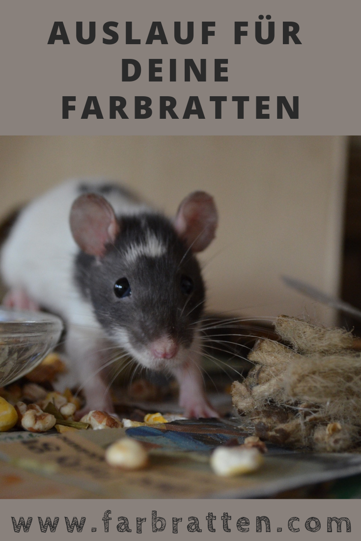 Ratten Auslauf Wie Du Ihn Sicher Gestaltest Mit Video Anleitungen Farbratten Ratten Ratte Haustier