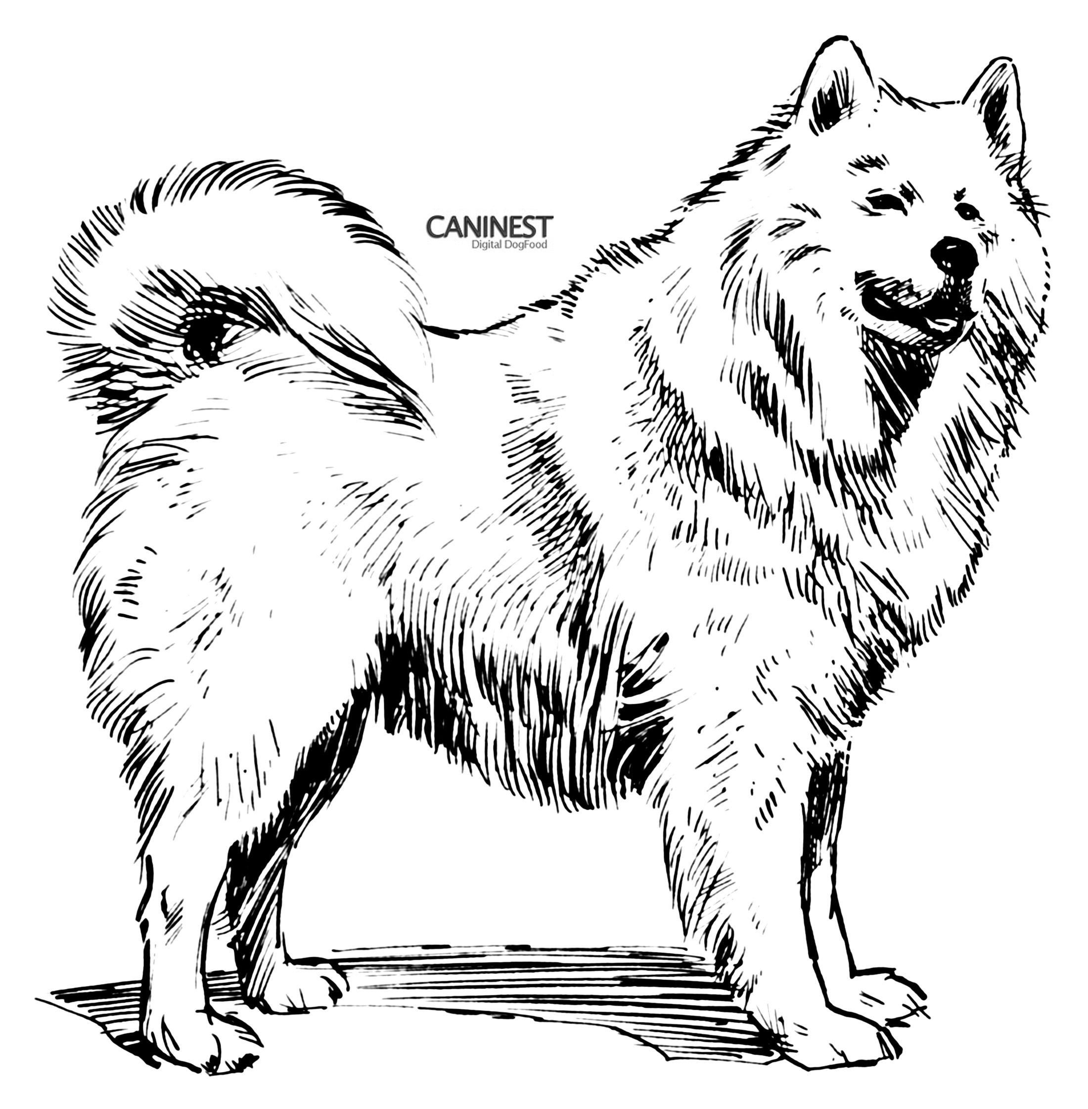 Simple Dog Drawings Samoyed Coloring Pages Sketch