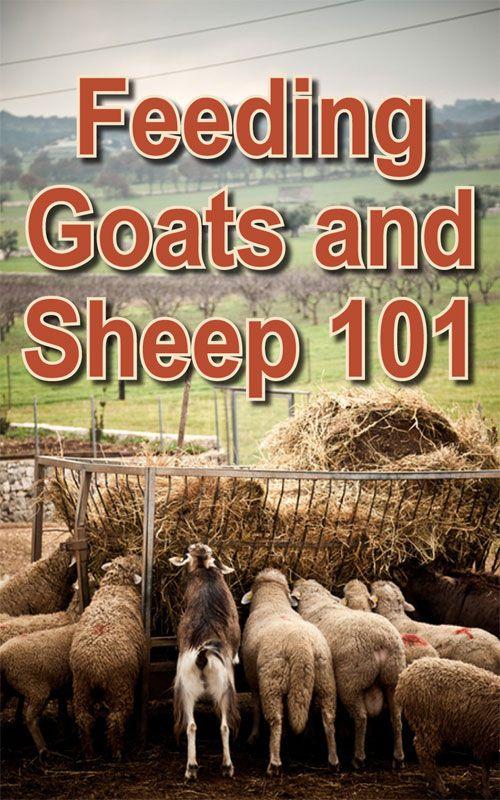 Feeding Goats and Sheep 101 | Feeding goats, Goat farming ...
