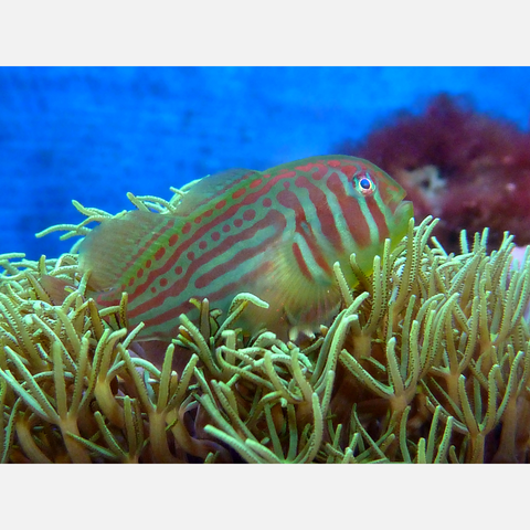 Clown Goby Green