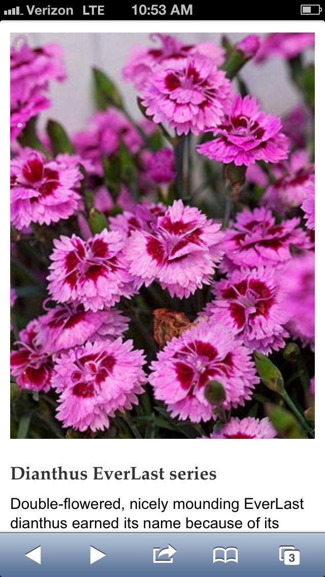 Perennial Long Flowering Plant Wishlist Pinterest Perennials