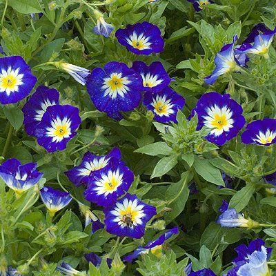 Dwarf Morning Glory Royal Ensign Garden Vines Flower Garden Plans