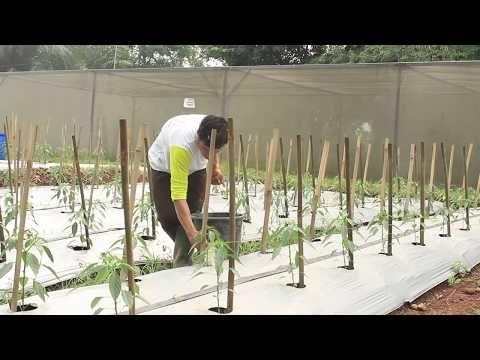 Sukses Tanam Cabai 20 Ton Per Hektar Youtube Tanaman Rumah
