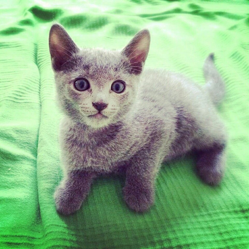 Azul ruso russian blue kitten Cat Russian blue
