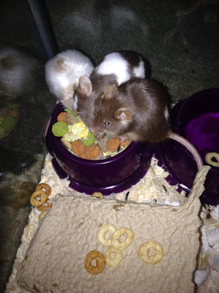 What Do Pet Mice Eat? (Here's What I Feed Mine) Pet Mice