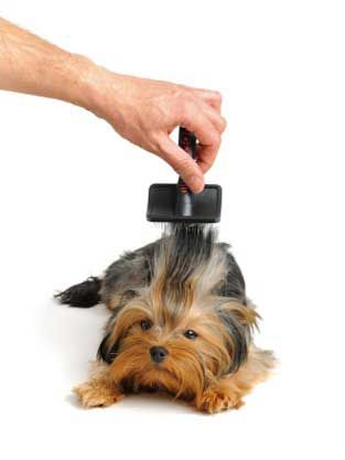 How to Groom a Yorkie at Home? Yorkshire terrier Grooming