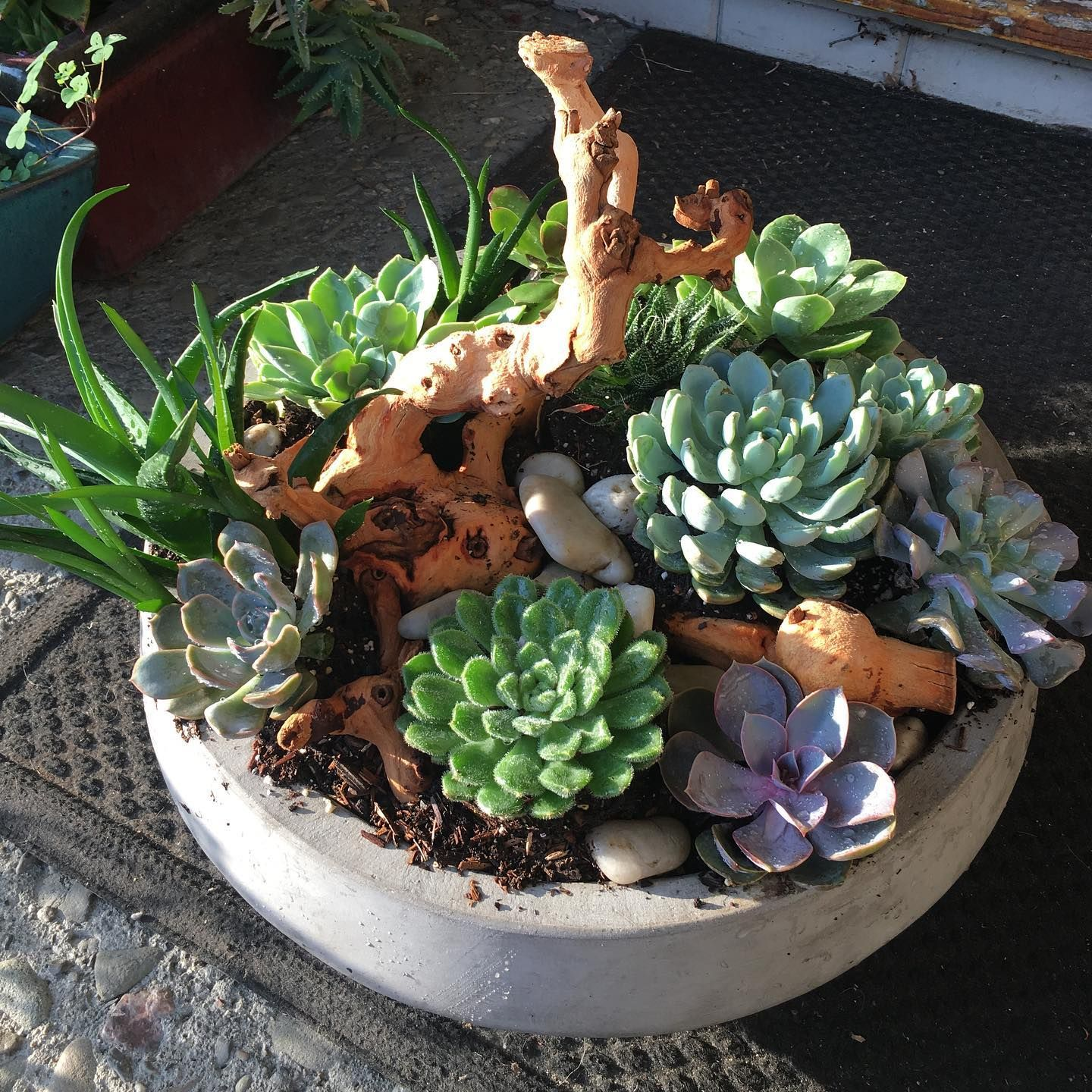 Beautiful succulent arrangement for delivery today. www