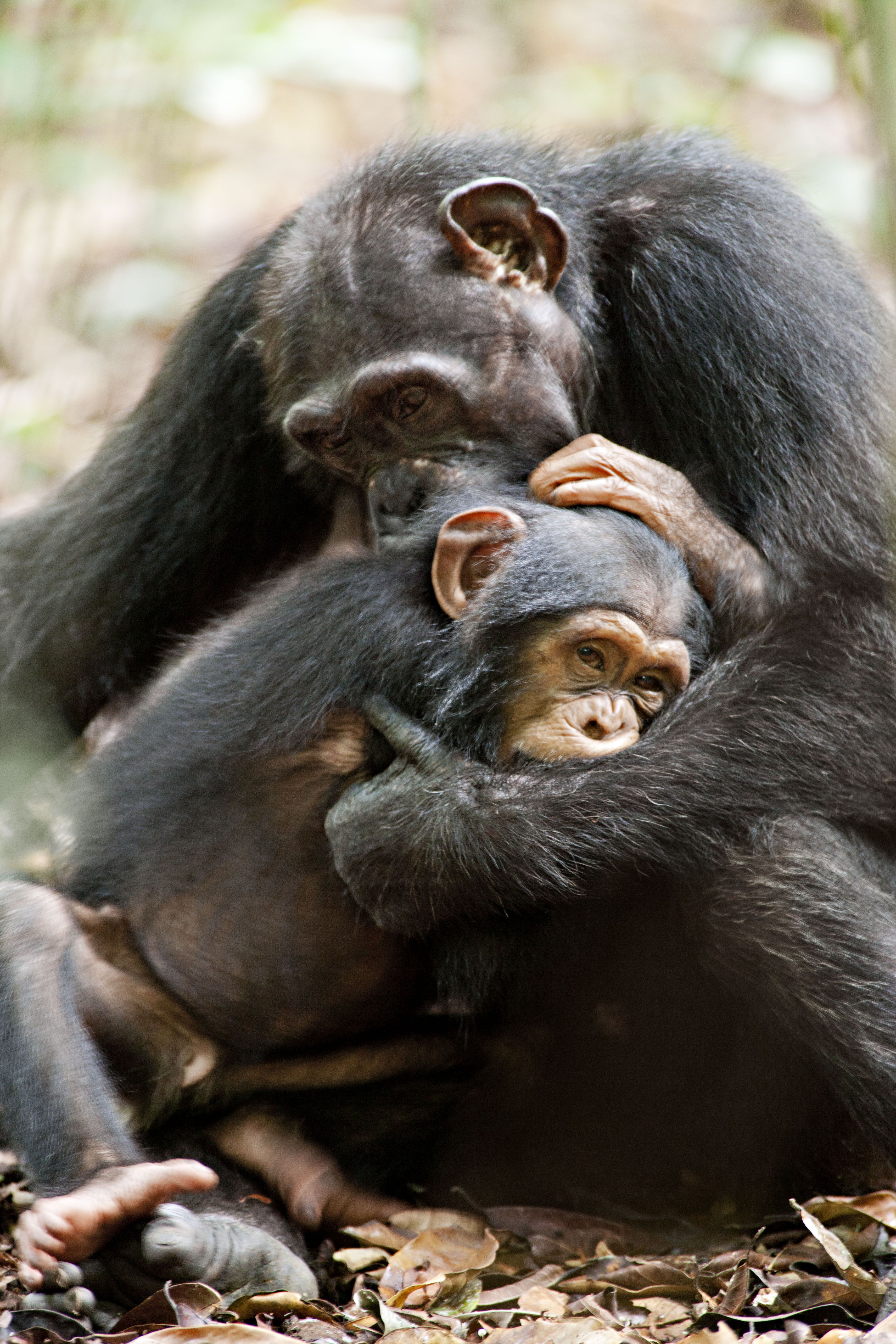 Female chimpanzees give birth to a single infant (twins are rare) every 5 to 6 years. A newborn chimpanzee weighs 3–4 pounds and is born helpless. Within a few days it is able to travel by clinging to its mother's stomach and by 5 to 7 months old it is strong enough to ride on her back.