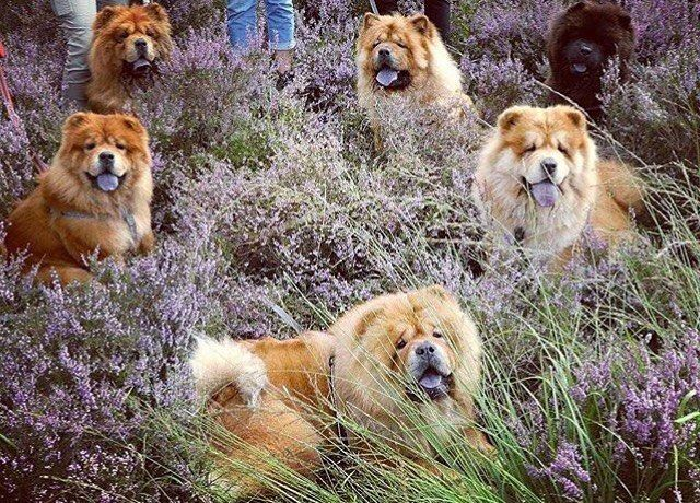 2 510 Likes 15 Comments Chow Chow Puppies Chowpuppies On