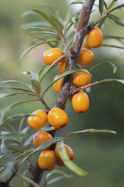 Growing Sea Buckthorn In Pots Learn About Container Grown Seaberry Plants In 2020 Sea Buckthorn Plants Edible Plants