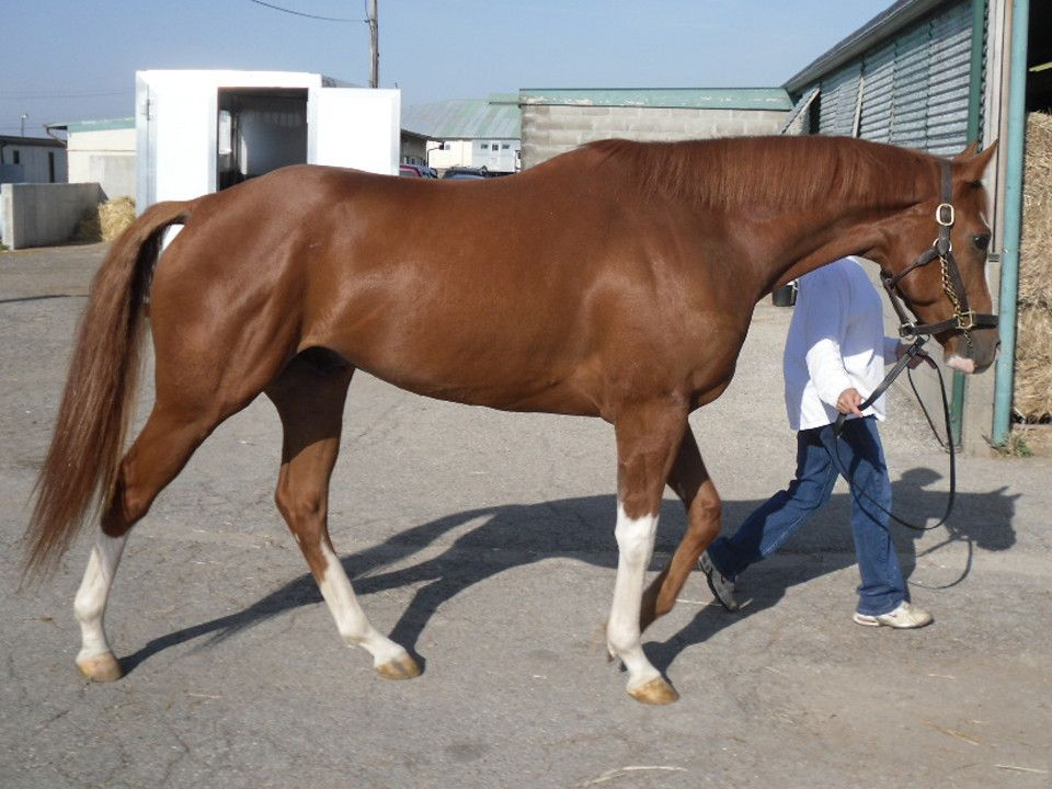 3 white socks chestnut thoroughbred | Pretty Ponies ... - photo#9