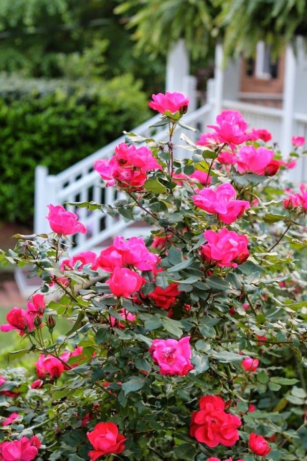 Knockout Roses Will Bloom All Summer Which Makes Them One Of My Favorite Garden Shrubs Malinda L Southern Peach