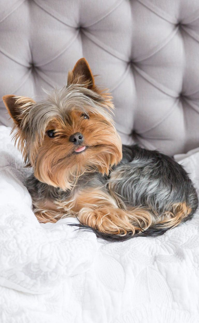 Choosing The Best Yorkie Beds What Is The Right Dog Bed For Your Yorkie Dog Photos Yorkie Yorkie Dogs