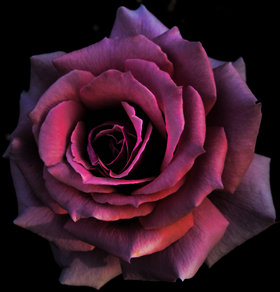 Single Rose Is In Essence A Symbol Of Completion Of Consummate
