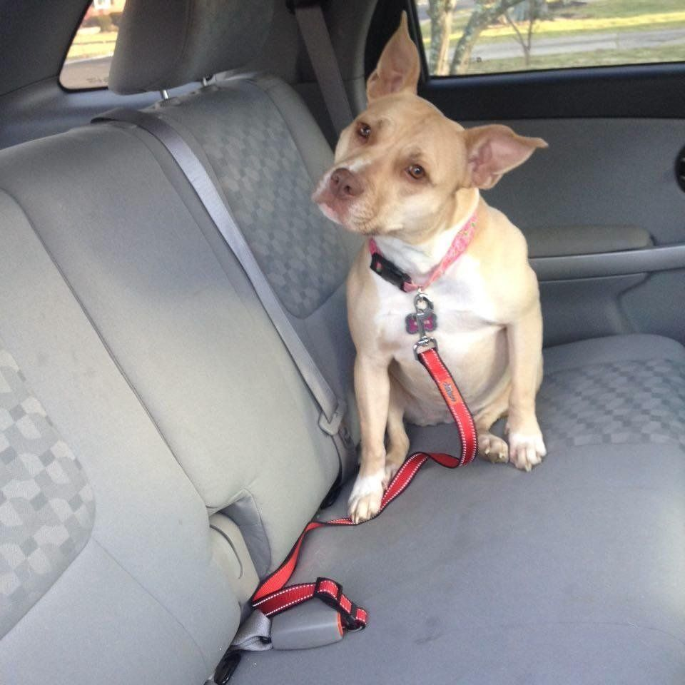 Amazon Customer Reviews Two Dog Seat Belt Leashes No1. Amazon Customer Reviews Two Dog Seat Belt Leashes No. Seat. Seat Belt Harness Zipper At Scoala.co