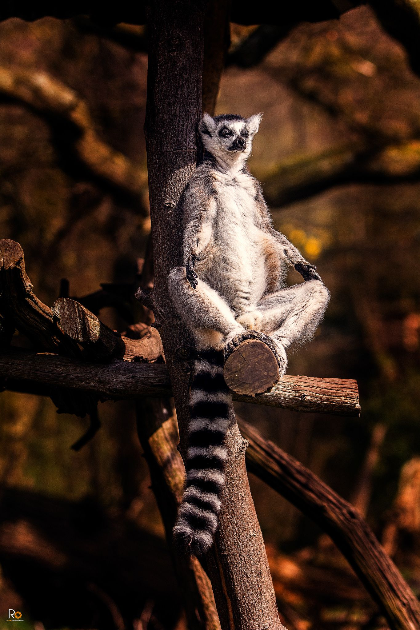 Lemur Lemur, Animals, Beautiful
