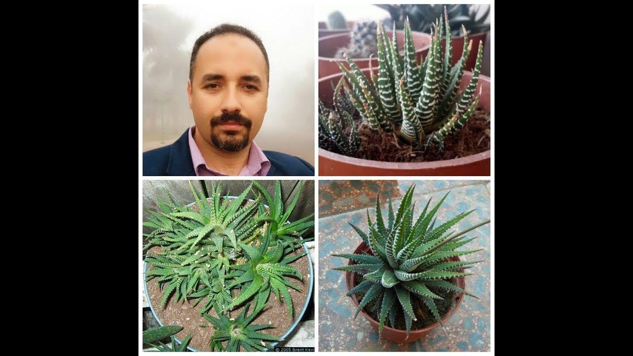 زيبرا هاورثيا حمار وحشى Haworthia كيفية زراعتة حلقة 192 تقديم م مراد مرعى Plants Youtube