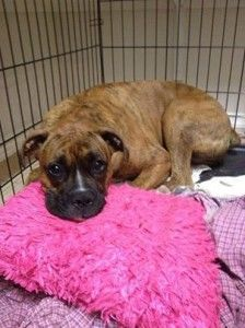 Pin By Daily Boxer On Health Training For Boxers Boxer Dog