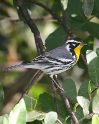 Florida warbler breasted in yellow
