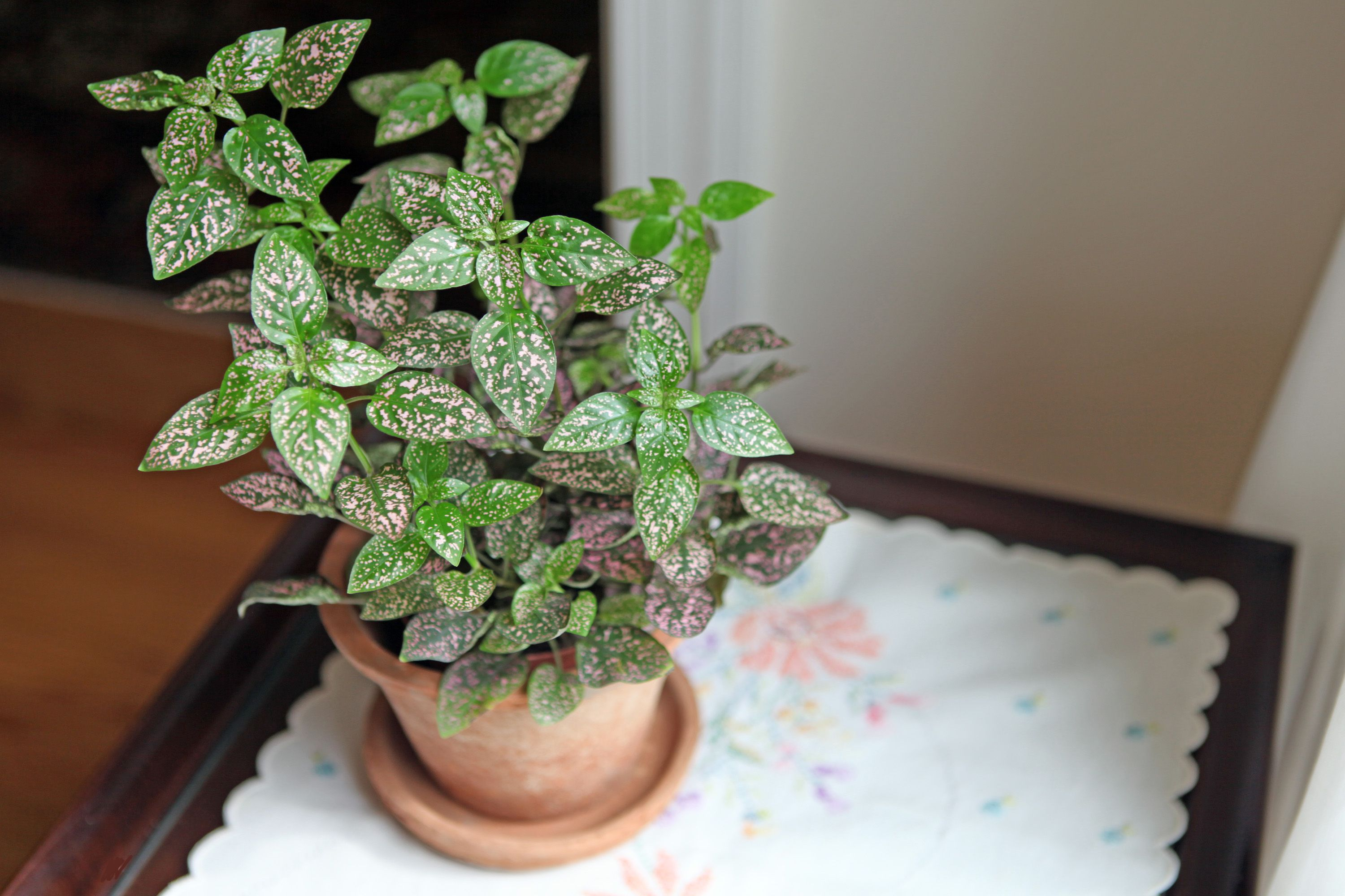How To Care For A Polka Dot Plant