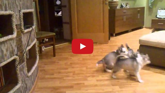 Adorable Husky mom plays with her babies