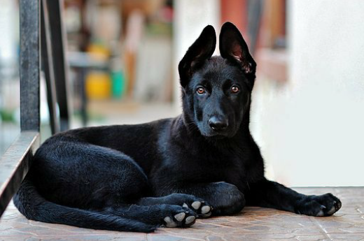 General Tips And Info Before Training Your Puppy Animals Cuties Black German Shepherd Black Dogs Breeds German Shepherd Dogs