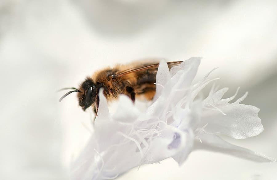 Pureté  #abeille #reine #macrophotography #macrophotographie #flowers #fleurs #macro_perfection #macro_captures #macroworld #macro_vision #flower #nature #pagan